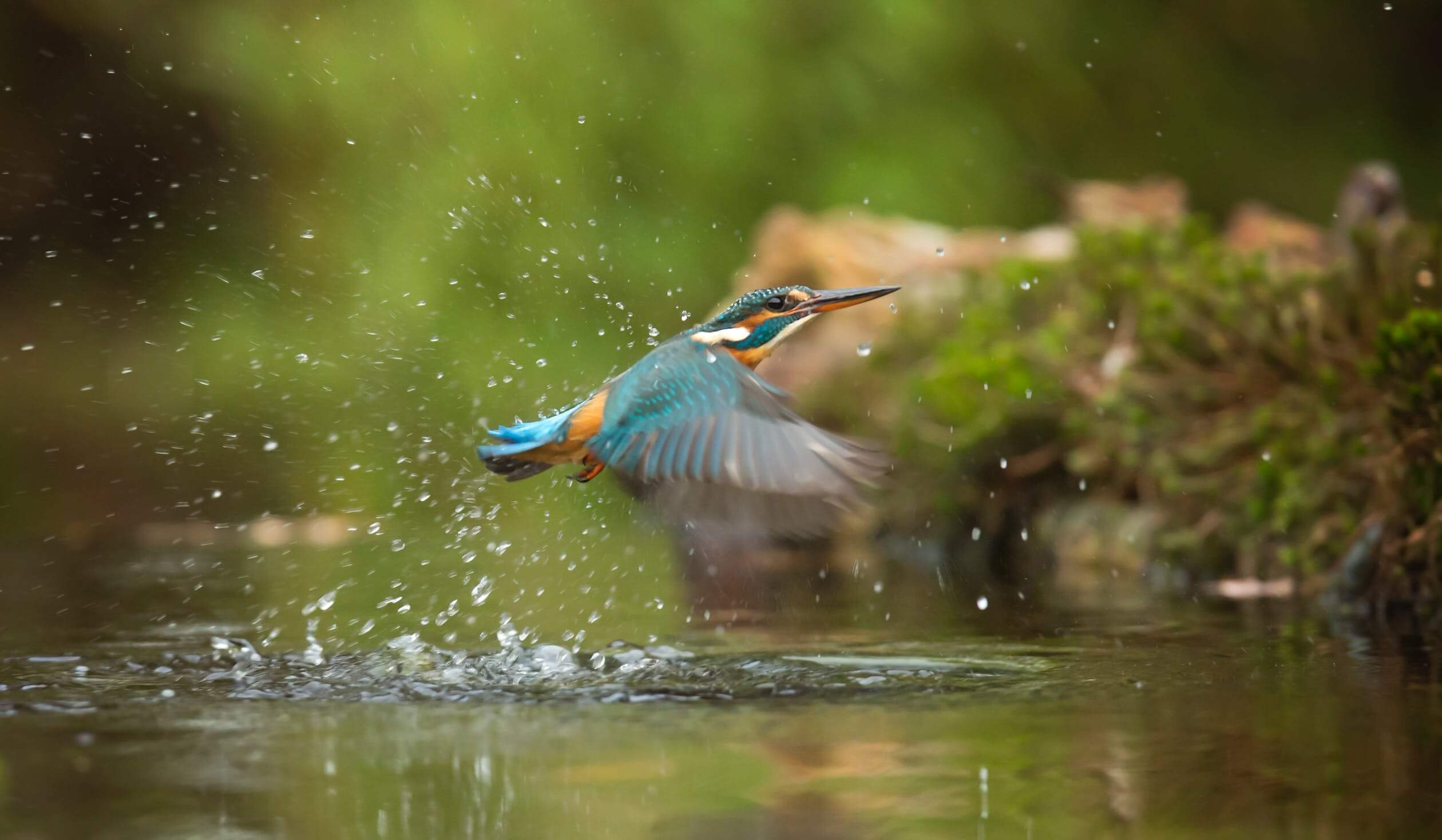 A common kingfisher flying above river.